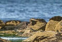 20190827Z7_5761 (cisco42) Tags: blackbear ursusamericanus mammal predator bc canada britishcolumbia creek