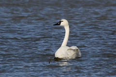 tundra 6 (S. J. Coates Images) Tags: bird fall roundup waterfoul water swan tundra belle park cataraqui river