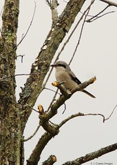 NS 2 (S. J. Coates Images) Tags: bird fall roundup lemoinepointconservationarea shrike northern