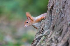 Checking (Joachim Dobler) Tags: eichhörnchen eichhoernchen squirrel écureuil ardilla scoiattolo equito nature natur nagetier wildlife animal cute naturephotography squirrellove wildlifephotography bestsquirrel nutsaboutsquirrels cuteanimals