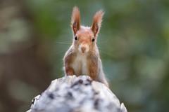 Holy cow... um, no... holy squirrel! 😇 (Joachim Dobler) Tags: eichhörnchen eichhoernchen squirrel écureuil ardilla scoiattolo equito nature natur nagetier wildlife animal cute naturephotography squirrellove wildlifephotography bestsquirrel nutsaboutsquirrels cuteanimals halo