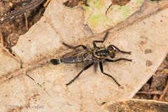 Robber Fly (jgruber111) Tags: asilinae asilidae diptera insect macro entomology robberfly fincalaspiedras