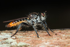Robber Fly (Pilica sp.) (jgruber111) Tags: macro insect robberfly entomology diptera asilidae laphriinae fincalaspiedras pilica