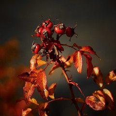 RM-2019-365-306 (markus.rohrbach) Tags: natur pflanze blume rose hagebutte projekt365