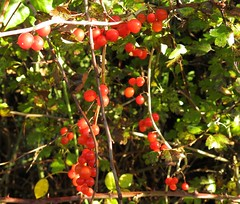 Black Bryony (Tamus communis) (Nick Dobbs) Tags: black bryony tamus communis climber poisonous londonthorpe hedgerow