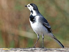 Lavandera blanca (Motacilla alba) (8) (eb3alfmiguel) Tags: aves pájaros insectívoros lavandera blanca motacilla alba passeriformes motacillidae