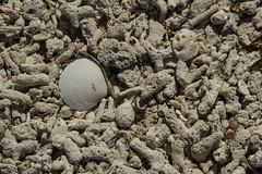 DryTortugas_162 (rvogt0505) Tags: drytortugasnationalpark nationalpark drytortugas florida beach sand shell