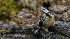 great woodpecker / Buntspecht (Senol Könnecke) Tags: woodpecker greatwoodpecker wildlife nature animals birds photography nikon d850 nikon200500mm natur tiere vögel buntspecht specht 169