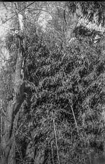 bamboo stand, powerline, Bellair Road, Asheville, NC, JB ENSIGN Houghton Butcher box camera, Fomapan 200, Moersch Eco developer, 11.1.19 (steve aimone) Tags: bamboo bamboostand powerline asheville northcarolina fomapan200 moerschecofilmdeveloper boxcamera landscape 120 120film film mediumformat monochrome monochromatic blackandwhite jbensignhoughtonbutcherboxcamera
