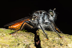 Robber Fly (Andrenosoma sp.) (jgruber111) Tags: macro insect robberfly entomology diptera asilidae laphriinae fincalaspiedras andrenosoma