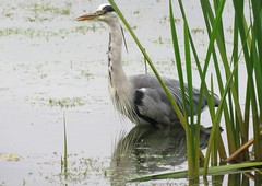 Grey heron (marksargeant57) Tags: ardeacineria water lackfordlakes bird birdreflection reflection canonpowershotsx60hs reeds lake heron greyheron