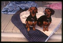2001-11 R01 021 (kccornell) Tags: marys daschund dog lafayette louisiana november 2001 color slide film e6 nikon fe2 35mm