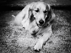 GFX2176 - Disney (Diego Rosato) Tags: disney cane dog animale animal pet golden retriever bianconero blackwhite fuji gfx50r fujinon gf63mm