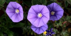 The Colour Purple (Lani Elliott) Tags: purple mauve purpleflowers nature naturephotography lanielliott macro upclose closeup bokeh macrounlimited pretty flowers homegarden garden petals colour colourful bright light