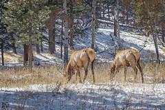 Rocky Mountain National Park (flippers) Tags: mountain cold roadtrip vacation rockymountainnationalpark estespark nationalpark colorado america nature elk snow holiday animal usa