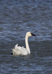 tundra 5 (S. J. Coates Images) Tags: bird fall roundup waterfoul water swan tundra belle park cataraqui river