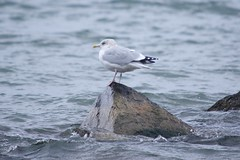 herring gull (S. J. Coates Images) Tags: bird fall roundup lemoinepointconservationarea gull herring lakeontario