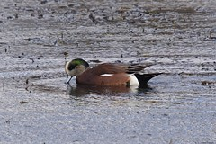 AW 1 (S. J. Coates Images) Tags: bird fall roundup cataraqui river water waterfoul duck american wigeon belle park