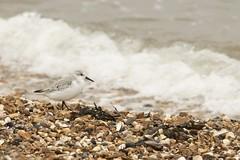Sanderling on the surf (ejwwest) Tags: