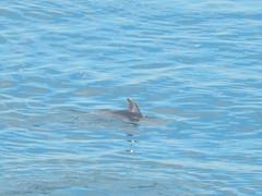 dolphin, Point Fermin Park, San Pedro (jim61773) Tags: dolphin