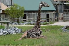 Flexible Resting (vbvacruiser) Tags: zoo virginiazoo norfolk giraffe mammal resting knees flexible nikon nikond7100