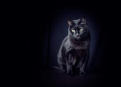 Pepe (Pepenera) Tags: cat cats gatto gato blackbeauty black blackbackground blackcat portrait photography petsphotography