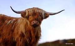 Eyeballing Highlander (mootzie) Tags: ginger fringe hairy horns scotland scottish outer hebrides highlandcow