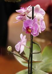 CGC2019_Divers_010 (Ragnarok31) Tags: castres geek connexion fleur fleurs flower flowers orchidée orchidae phalaenopsis flore