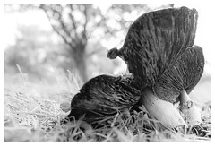 Agaricus urinascens (leo.roos) Tags: bw cz czone cznl czdista czza solaag dicht amount darosa sal24f20z distagon2420za distagont224 leoroos sony242 a7rii sonycarlzeiss24mmf2zassmdistagon macromushroom agaricusurinascens agaricusmacrosporus grootsporigechampignon mushroom mushrooms fungi fungus paddenstoel paddestoel paddestoelen paddenstoelen schimmel zwam schimmels zwammen westerhonk
