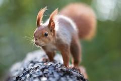 Gone with the wind 💨 (Joachim Dobler) Tags: eichhörnchen eichhoernchen squirrel écureuil ardilla scoiattolo equito nature natur nagetier wildlife animal cute naturephotography squirrellove wildlifephotography bestsquirrel nutsaboutsquirrels cuteanimals