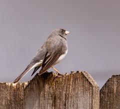Dark-eyed Junco (mahar15) Tags: wildlife bird junco darkeyedjunco nature