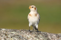 Snow Bunting - Cattle Point, Victoria BC