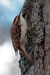 tree creeper (DODO 1959) Tags: treecreeper nature wildlife birds fauna avian trees animal outdoor scotland canon 100400mmmk2 1dmk4 x14converter