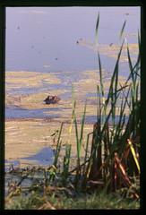 2001-11 R01 016 (kccornell) Tags: alligator swamp marsh coast rutherford beach louisiana november 2001 color slide film e6 nikon fe2 35mm