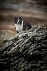 44/52 'A chip off the old block' (JJFET) Tags: 44 52 weeks for dogs paddy border collie dog sheepdog