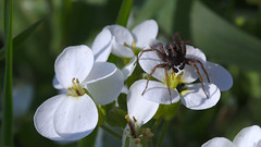 Spider on watercress (stanzebla) Tags: saintvictordépine spiders araignées spinnen watercress