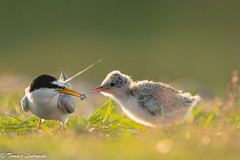 Little tern (Sternula albifrons) rybitwa białoczelna - feeding (tomaszberlin) Tags: ngc