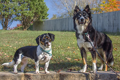 Hope and Kimber - Our Grandkids Have Paws (J.L. Ramsaur Photography) Tags: jlrphotography nikond7200 nikon d7200 photography photo cookevilletn middletennessee putnamcounty tennessee 2019 engineerswithcameras cumberlandplateau photographyforgod thesouth southernphotography screamofthephotographer ibeauty jlramsaurphotography photograph pic cookevegas cookeville tennesseephotographer cookevilletennessee hope kimber dogs dog beagle husky australianshepherd granddogs ourgrandkidshavepaws animals portrait portraiture familyportrait portraitphotography doggieportrait puppiesportrait fall autumn fallinthesouth tennesseefall fallcolors colorful red orange yellow brown fallseason autumncolors autumninthesouth fallleaves tennesseeautumn leaves autumnleaves leaf fallintennessee autumnintennessee