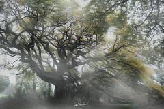 The Oak of BreslonAbstract (PhrozenTime/WAHLBRINKPhoto) Tags: lechenedebreslon biology plant tree deciduous quercuspetraea cornishoak durmastoak sessileoak timeofyear autumn fall baindebretagne illeetvilaine35 france