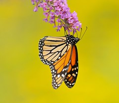 A Flower, a Butterfly, and a Mass of Goldenrod (Slow Turning) Tags: danausplexippus monarchbutterfly insect nectaring foraging forage feeding buddleia flowers blossoms summer southernontario canada