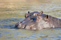 "a pair of hippos jostle gently, late afternoon on the mightly Zambezi River. Zambia, Zimbabwe, Africa (grumpybaldprof) Tags: ""zambeziriver"" zambezi river water zambia zimbabwe africa hippo hippos afternoon lateafternoon sunset colours mood moody atmosphere atmospheric colour colourful bright evening ""canon80d"" ""sigma 150600mm f563 dgoshsmsport"" wildlife big5 game"