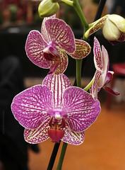 CGC2019_Divers_014 (Ragnarok31) Tags: castres geek connexion fleur fleurs flower flowers orchidée orchidae phalaenopsis flore