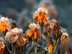 After a cold night (joeke pieters) Tags: tagetes afrikaantjes rijp panasonicdmcfz150 1510391 cold flower hoarfrost bloem koud nachtvorst nightfrost ngc npc