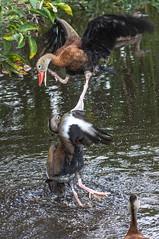 Conquering a heart (xrayman.dd) Tags: ducks ducksmating marshbirds floridabirds