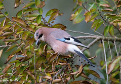 Jay (johnthistle) Tags: handheld jay bird wild hertfordshire rickmansworth tree leaves autumn canon 500mm 7dmkii nature colours green