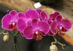 CGC2019_Divers_013 (Ragnarok31) Tags: castres geek connexion fleur fleurs flower flowers orchidée orchidae phalaenopsis flore