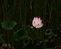 Sacred lotus (Nelumbo nucifera) at the Chinese Garden, Singapore (From Studio C++) Tags: nelumbo nucifera sacred lotus chinese garden singapore