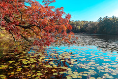 Lily Pads (amillionwalks) Tags: pinehurst park lily pads foliage red blue water pond lake fall autumn october 2019 lilypads overhang leaves tree longwalk
