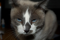 If Looks Could Kill (rlt64) Tags: cats small domestic siamese