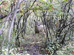 Deer #2 (pamfromcalgary) Tags: animal deer whitetaileddeer trees carburnpark pamhawkes